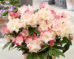 Rhododendron 'Percy Wiseman' (rhododendron)