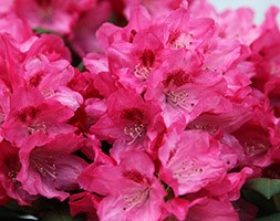 Rhododendron 'Sneezy' (rhododendron)