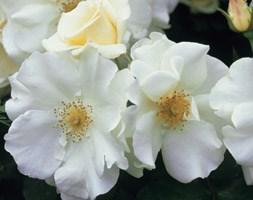 Rosa Flower Carpet White ('Noaschnee') (PBR) (ground cover rose)