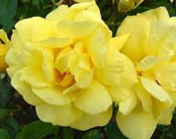 Rosa Flower Carpet Sunshine ('Noason') (PBR) (ground cover rose)