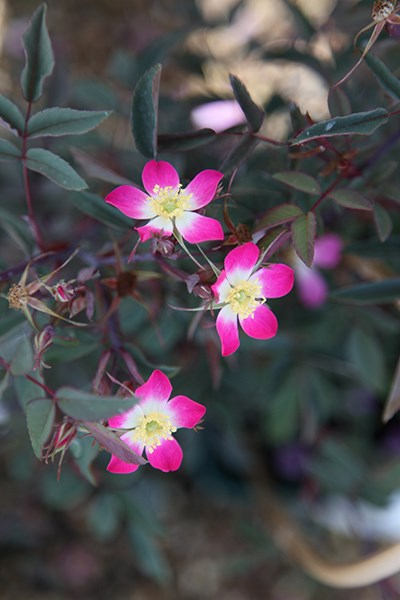 rose rubrifolia (shrub)