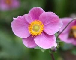 Anemone hupehensis 'Hadspen Abundance' (Japanese anemone)