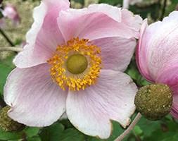 Anemone x hybrida 'September Charm' (Japanese anemone)