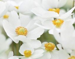 Anemone sylvestris (snowdrop anemony, snowdrop windflower)