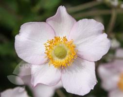 Anemone x hybrida 'Robustissima' (windflower)