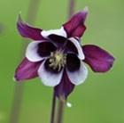 Aquilegia vulgaris William Guiness