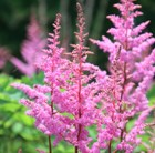 Astilbe Bressingham Beauty (× arendsii)