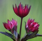 Astrantia Hadspen Blood