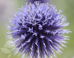 Echinops ritro 'Veitch's Blue' (globe thistle)