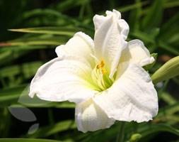 Hemerocallis 'Gentle Shepherd' (daylily)