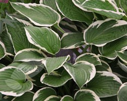 Hosta 'Francee' (fortunei) (plantain lily)