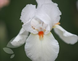 Iris 'Frost and Flame' (bearded iris)