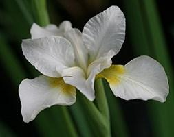 Iris 'Dreaming Yellow' (Siberian iris)
