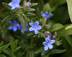 Lithodora diffusa 'Heavenly Blue' (Lithospermum)