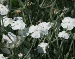 Lychnis coronaria 'Alba' (white rose campion)