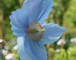 Meconopsis baileyi (himalayan blue poppy)