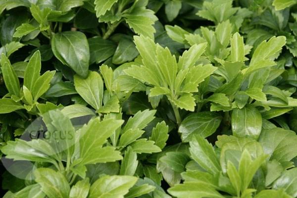 Pachysandra terminalis  Pachysandra Green Carpet