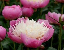 Paeonia lactiflora 'Bowl of Beauty' (paeony / peony)