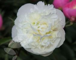 Paeonia lactiflora 'Duchesse de Nemours' (paeony / peony)