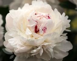Paeonia lactiflora 'Festiva Maxima' (paeony / peony)