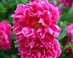 Paeonia lactiflora 'Karl Rosenfield' (paeony / peony)