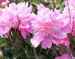 Paeonia lactiflora 'Monsieur Jules Elie' (paeony / peony)