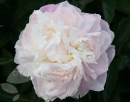 Paeonia lactiflora 'Shirley Temple' (paeony / peony)
