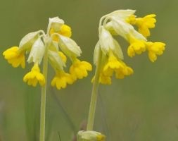 Primula veris (cowslip)