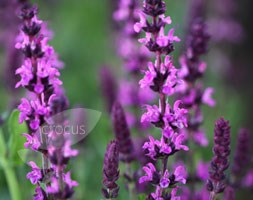 Salvia x sylvestris 'Rose Queen' (sage)