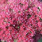 Sedum spectabile (Brilliant Group) Brilliant