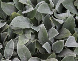 Stachys byzantina 'Silver Carpet' (lamb's ears)