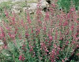 Teucrium 'chamaedrys' (Wall germander)