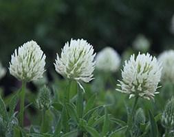 Trifolium ochroleucum (sulphur clover)