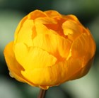 Trollius × cultorum Orange Princess