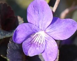 Viola riviniana 'Purpurea Group' (wood violet (syn. Viola labradonica var. purpurea))