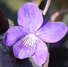 Viola riviniana Purpurea Group