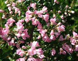 Escallonia 'Apple Blossom' (escallonia)