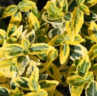 Euonymus fortunei Emerald 'n' Gold