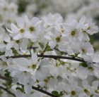 Exochorda × macrantha The Bride