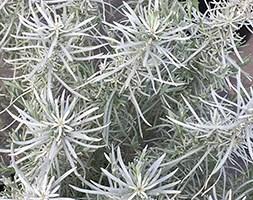 Helichrysum italicum subsp. serotinum (Curry Plant)