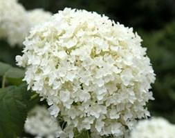 Hydrangea arborescens 'Annabelle' (sevenbark)
