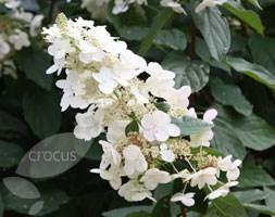 Hydrangea paniculata 'Grandiflora' (hydrangea)