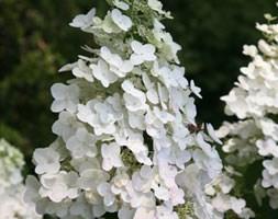 Hydrangea paniculata 'Unique' (hydrangea)