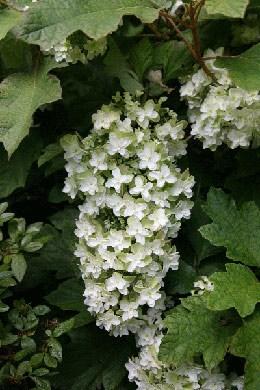 Hydrangea quercifolia Snowflake ('Brido') (oak-leaved hydrangea)
