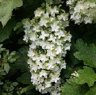 oak-leaved hydrangea