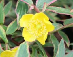 Hypericum x moserianum 'Tricolor' (St. John's wort)