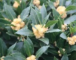 Laurus nobilis (bay laurel)