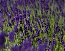 Lavandula angustifolia 'Hidcote' (lavender)