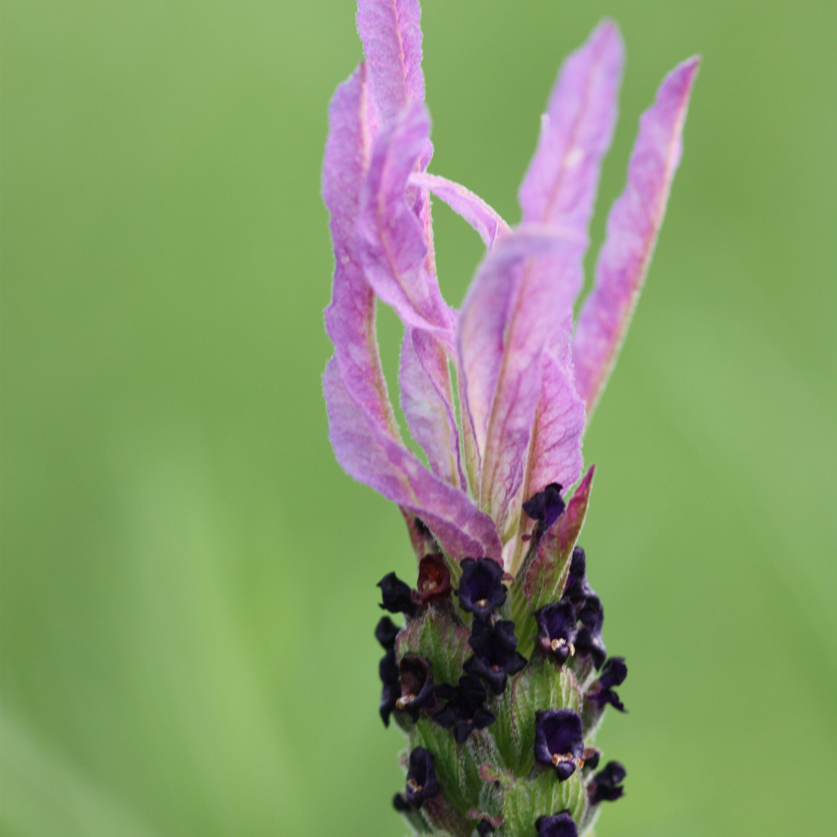 French lavender (syn. Papillon)
