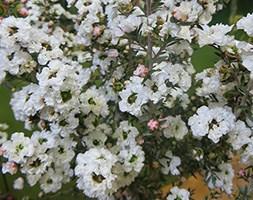 Leptospermum scoparium 'Snow' (New Zealand tea tree)